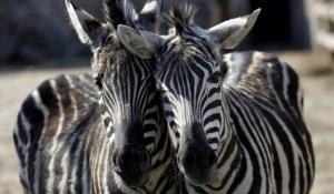 Zgjidhet misteri pse zebrat kanë vija